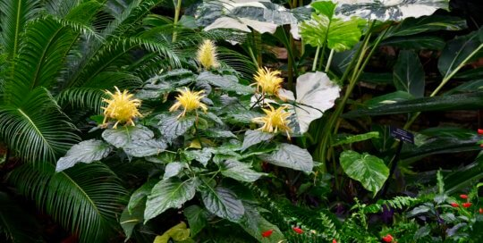 Fluffy yellow blooms from Schaueria flavicoma (golden plume) add playful color and texture to this conservatory planting.