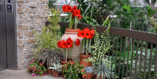 A collection of container plants -- including holiday amaryllis -- line the upper balcony in the conservatory.