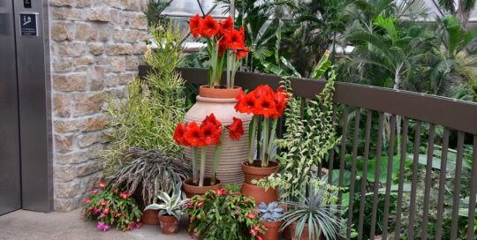 Amaryllis and a variety of other container plants are striking against the conservatory backdrop.