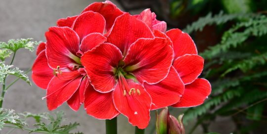 One group of many amaryllis in the conservatory -- look for them in the ground as well as in planters throughout the Garden.