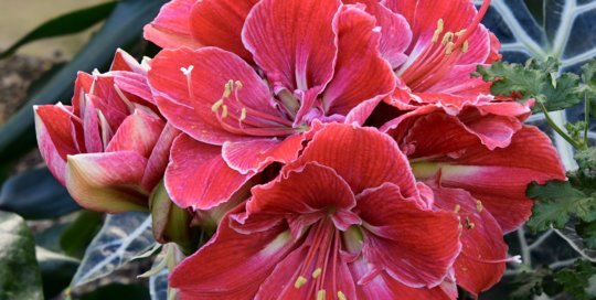 A cluster of amaryllis blooms unfurl in the Gardeners Show House.