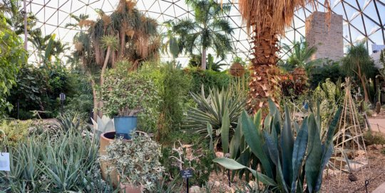 Sunlight streams through the palms and desert garden plants on a winter day in the conservatory.