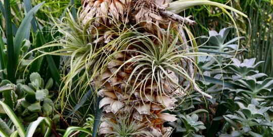 A collection of air plants and succulents thrive in a container in the desert garden.