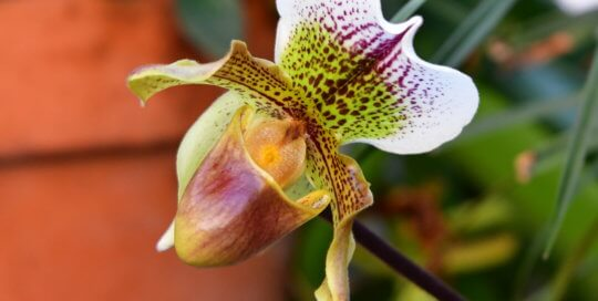 One of many orchids in the Gardeners Show House --  Paphiopedilum (Bulldog Slippers).