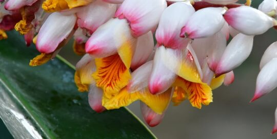 An up-close look at Alpinia zerumbet (shell ginger) in flower.