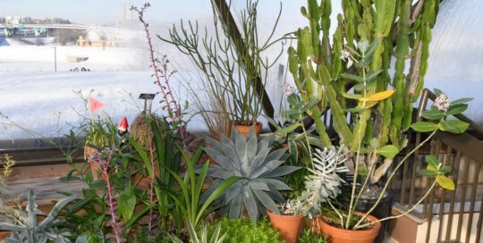 A collection of cacti and succulents in containers along the conservatory balcony.