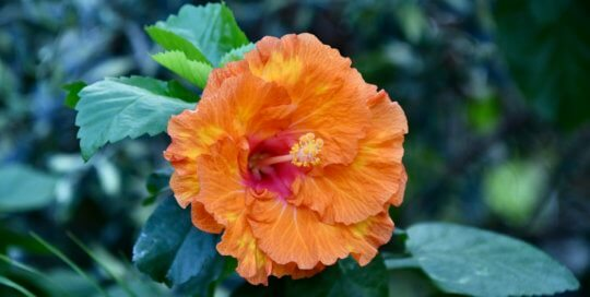 An orange hibiscus bloom shines in the conservatory.