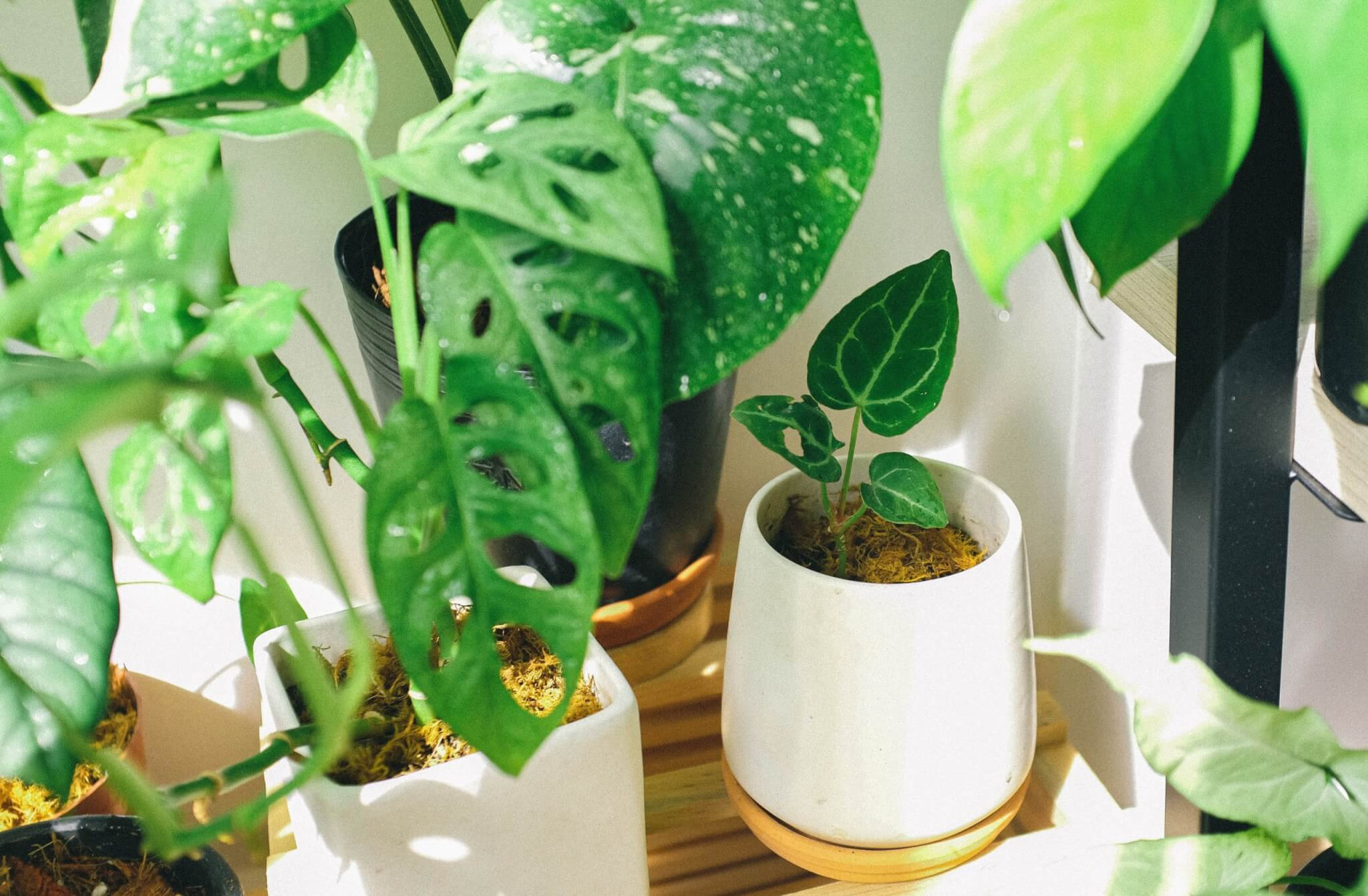 Houseplants in white containers sitting on a wood shelf