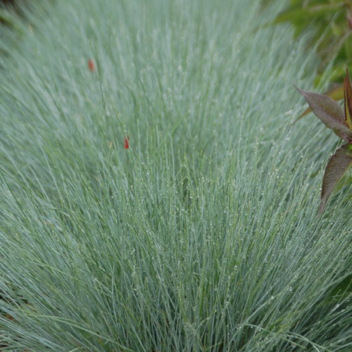 Festuca × 'Cool as Ice' PP27651