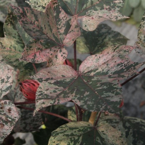 Gossypium Abre Red - Pink Variegated Cotton