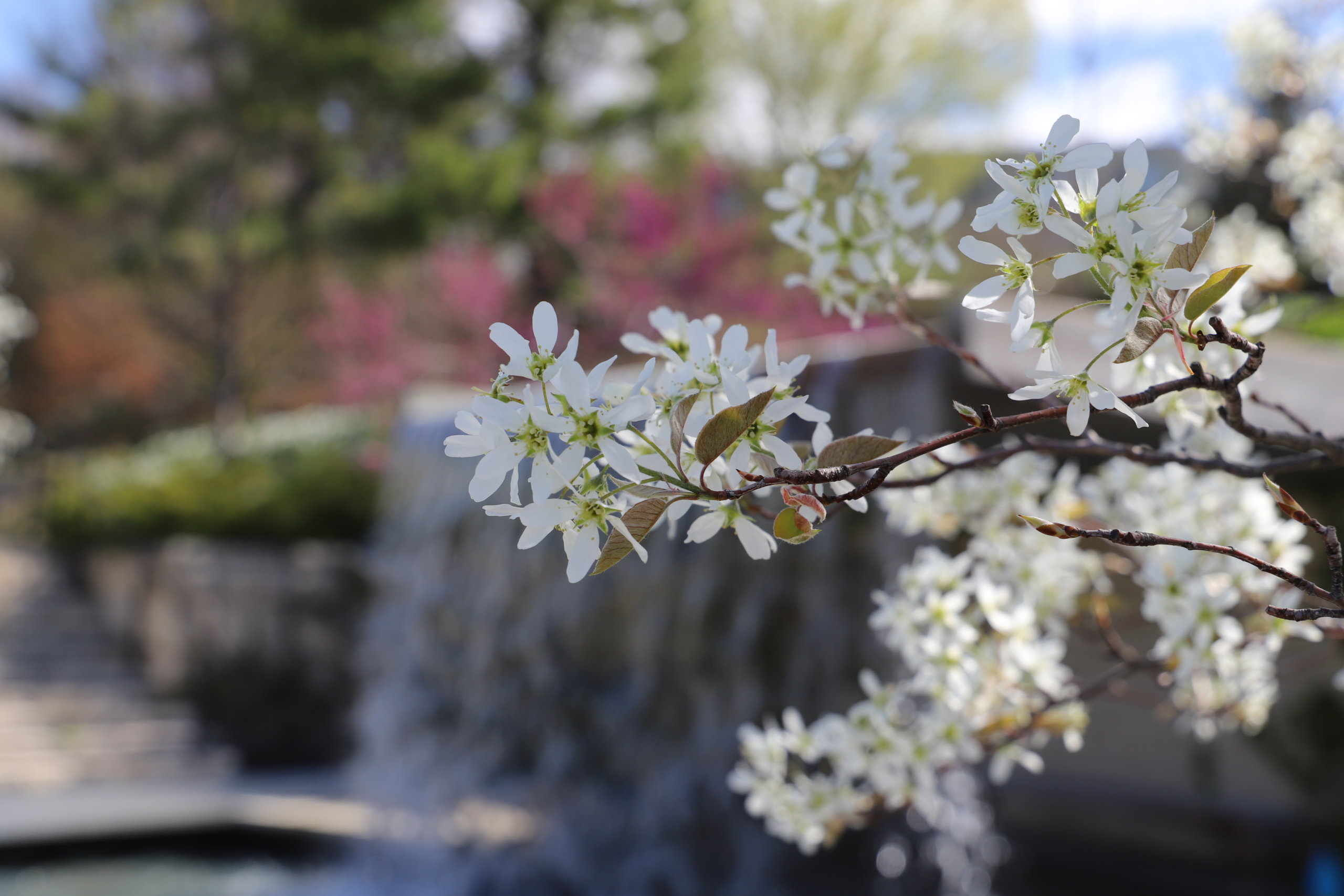 Waterfall in the background behind white flowering tree.