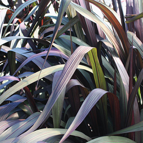 Pennisetum [Graceful Grasses® Vertigo®] 'Tift 8'