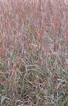 Schizachyrium scoparium [Blue Heaven™] 'MinnBlueA' PP17310