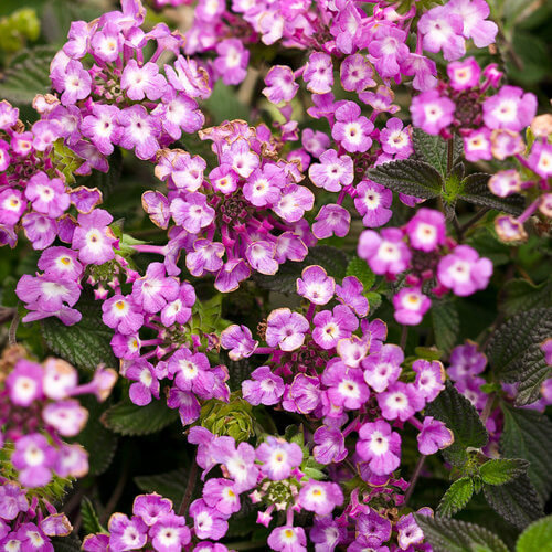 Lantana montevidensis Luscious® Grape