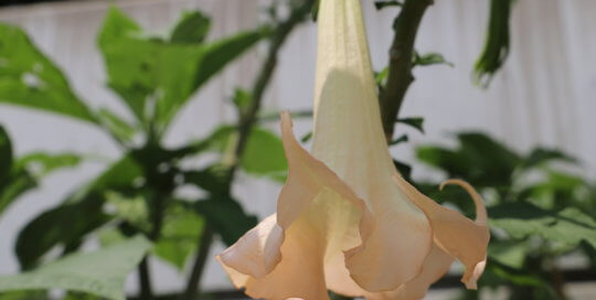 Peach flower resembling a trumpet hanging down toward the ground.
