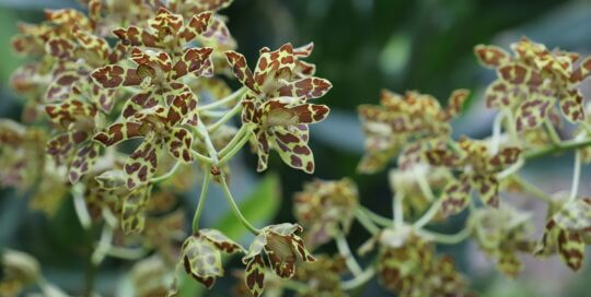 Green flower with brown spots resembling animal print.
