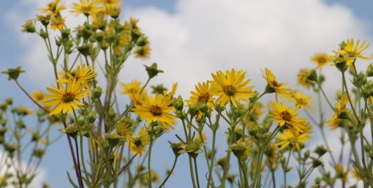 Yellow flower with background of blue sky and clouds.