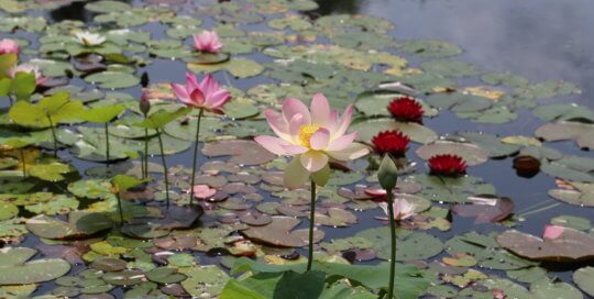 Pink lotus near pink, red, and white waterlilies as well as lily pads in a pond.