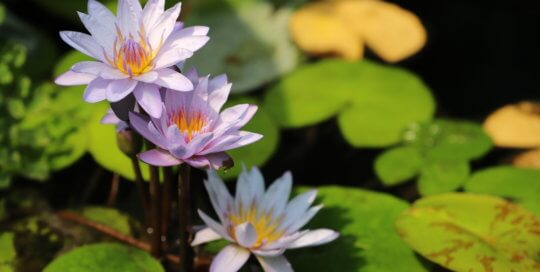 Purple waterlilies and lily pads.
