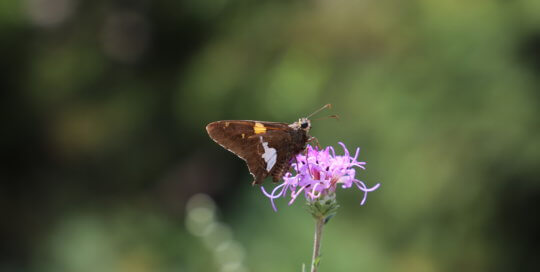 A brown moth with a white spot rests on a purple flower.