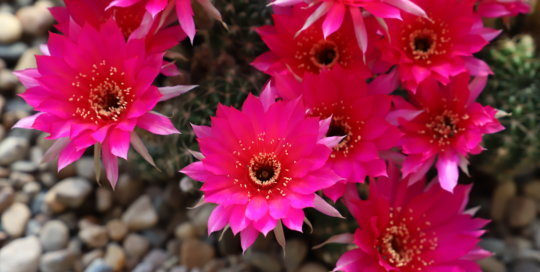 Pink flowers with yellow center growing out of a cactus.